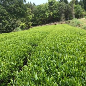 京都吉田山大茶会は中止になりました