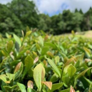 二番茶摘み!和紅茶研修会!ハーブの収穫!