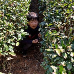 在来夏摘み紅茶の内容量が変わります