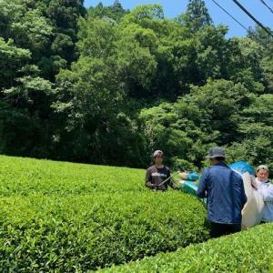 2番茶終了しました 夏摘み和紅茶お楽しみに!!