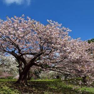 さくら咲く日2021......1