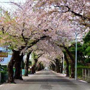 さくら咲く日2021......5