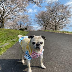 マロたんと桜