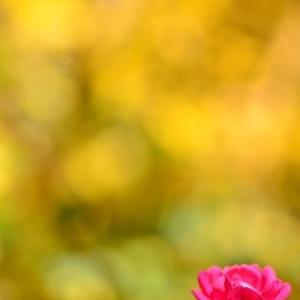 黄葉とミニバラ