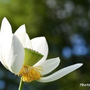 散り際の白い蓮
