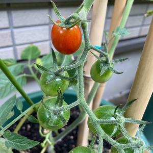 プランター農園 プチトマト