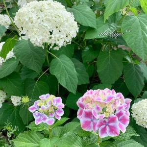 紫陽花と紫陽花のような北欧柄
