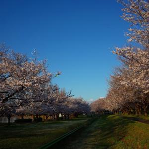 寒くって早起きした・・・の、ついでに見てきた川越の桜