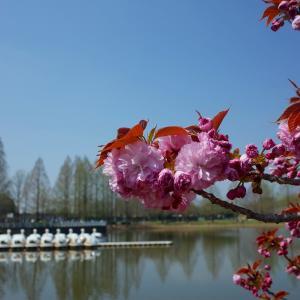 川越水上公園の桜散策