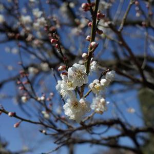 散歩にて常楽寺の梅とかすみ食堂でのランチ