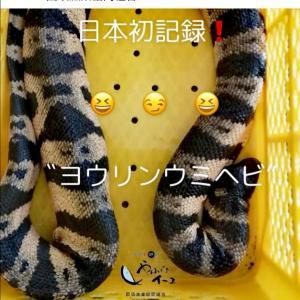 国頭の海で日本初記録のウミヘビ
