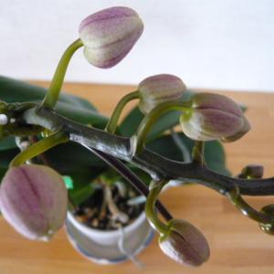 【株主優待】アートグリーンの胡蝶蘭をもう一度咲かせてみせる