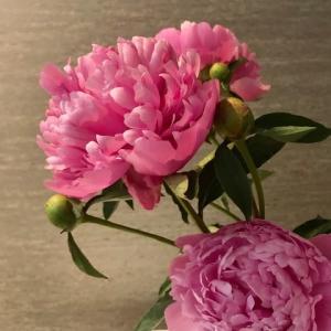 芍薬の花 〜そしてお勧めマスカラ♪〜
