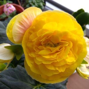 黄色い球根ベコニア開花