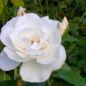 白い花、アイスバーグ、アストランティア、バーベナハスタータ、ジャコウアオイ