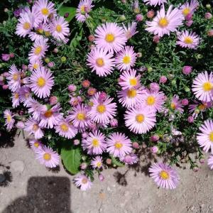 友禅菊が綺麗に!最早最低気温が一桁です。