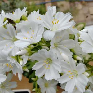 白い花、レウイシア、ナツユキカズラ、センニンソウ