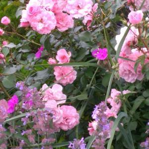 薔薇ボニカ82とロクヘンシモツケ、アスピリンローズ、チェシャー