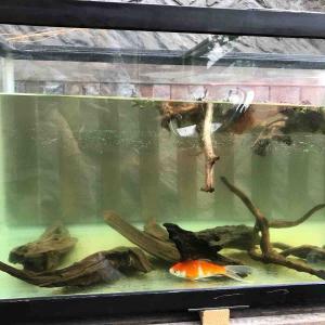 屋外金魚飼育トライアル