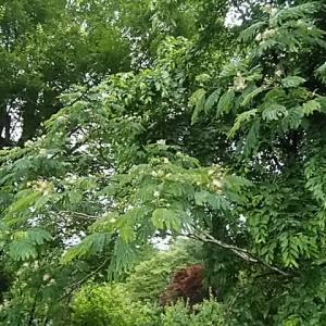 季語・合歓の花 角川源義/どの谷も合歓の明りや雨の中