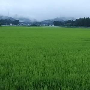 季語・青田 嘯山/風颯と鷺の見え来る青田かな