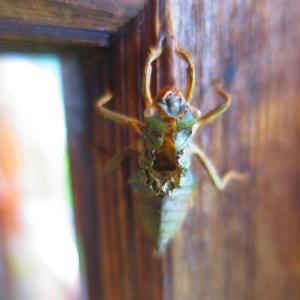 玄関の戸でヤゴが羽化