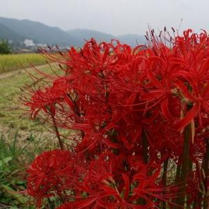 ◆真っ赤な彼岸花
