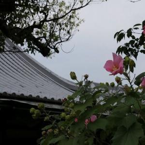 ◆芙蓉と槿の違いは?