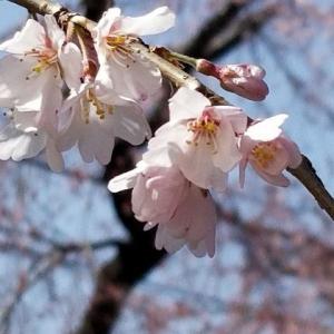 ◆桜 さくら さくら・・
