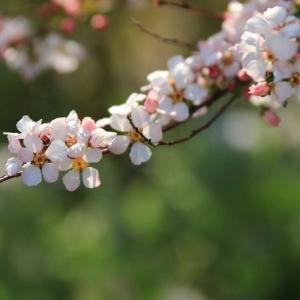 ◆桜の妹分かな?