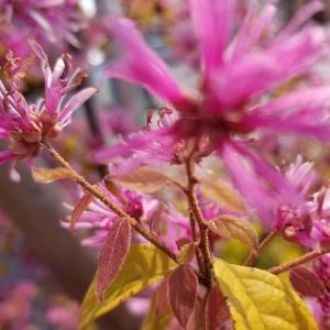◆ピンクの花が