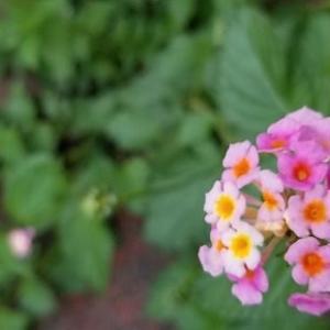 ◆紫陽花に似た小さい花は