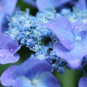 ◆紫陽花を
