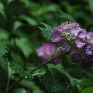 ◆紫陽花 額縁