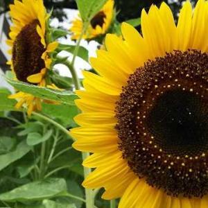 ◆向日葵が咲く時期に