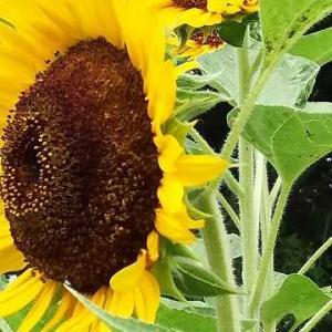 ◆向日葵  うなぎ