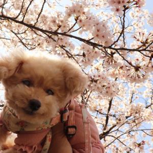 【自粛前の平日に・・・】 ◎くーちゃんと桜お散歩~(長池公園編)♪