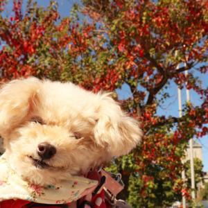 【告知お散歩情報も~】 ◎秋が深まり、足取り軽く絶好調のくーちゃん~♪