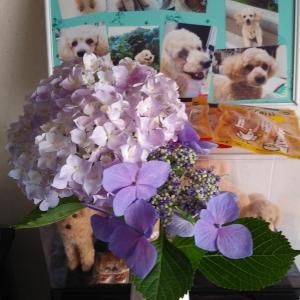 紫陽花の切花