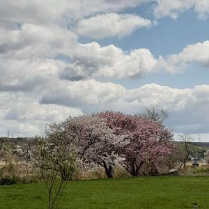 志賀町の桜