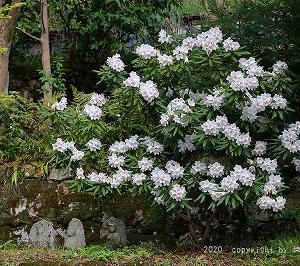 ひっそり咲く石楠花を見る @清水寺