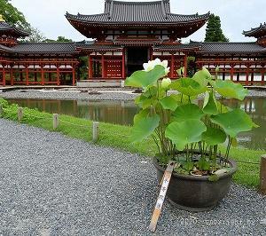 鳳凰堂に蓮が咲くを見る @宇治平等院