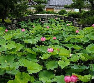 天龍寺に蓮が咲くを見る