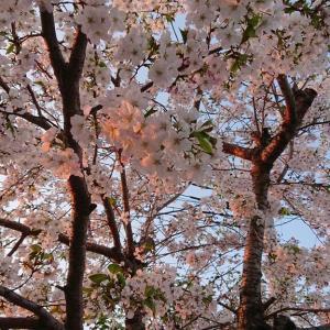 桜満開☆庭でお花見気分