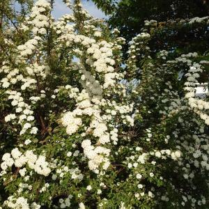 お庭のお花☆コデマリ