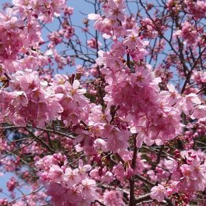 桜 もうすぐ満開