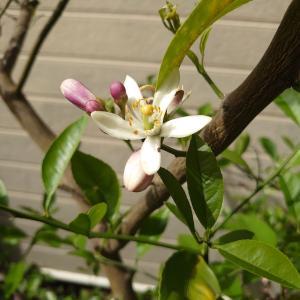 レモンの花の香り