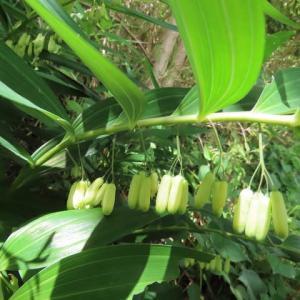 ナルコユリ(黄精)、アマドコロ(玉竹)、桑の実とホオジロ幼鳥