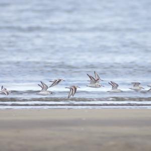ミユビシギ幼鳥の小群 Sanderling