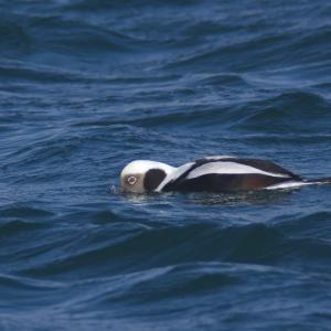 コオリガモの飲水と潜水 Long-tailed Duck